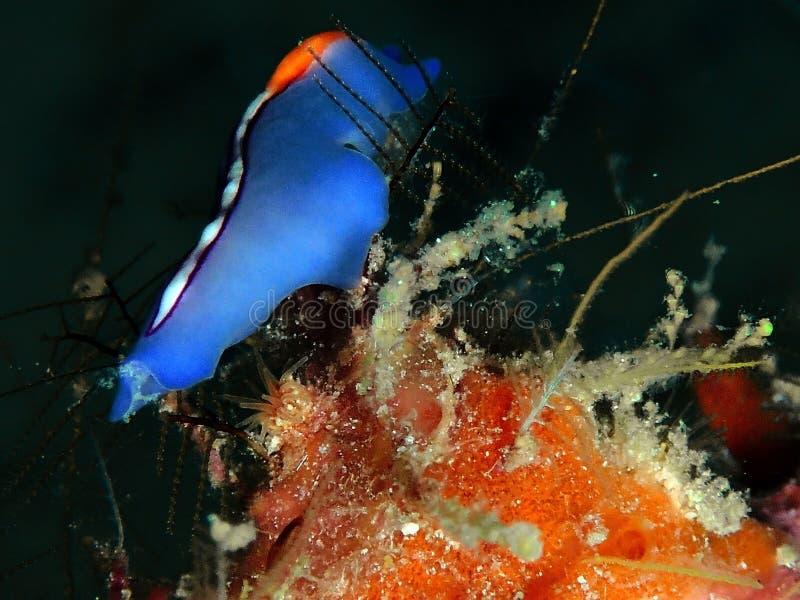 Closeup och makro som skjutas av Röd-tippad Flatworm i den Mabul ön, Semporna, Tawau Sabah Malaysia st?der royaltyfri foto