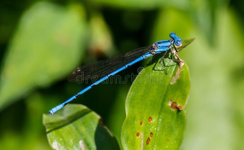 Closeup och zoom av den blåa sländan över ett blad fotografering för bildbyråer