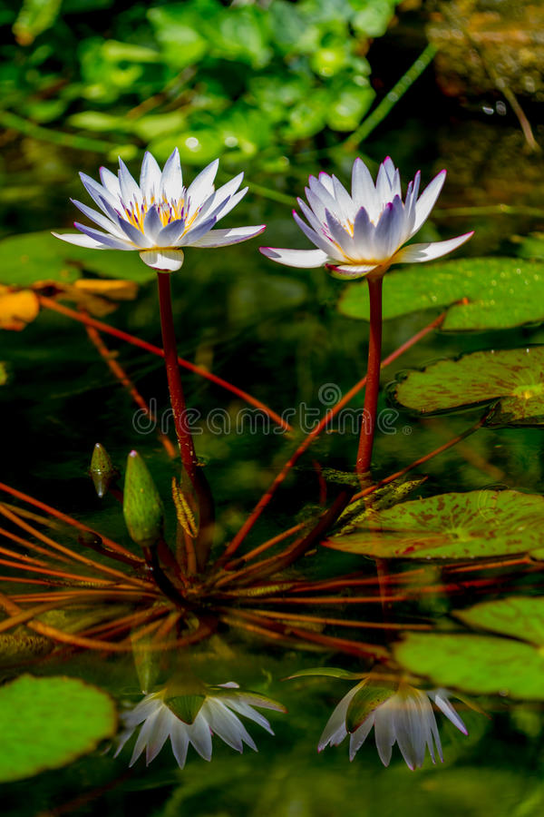 Free Closeup Of A Pair Of Tropical White Water Lily Flowers (Nymphaeaceae) With Reflections And Lily Pads. Stock Photography - 31750482