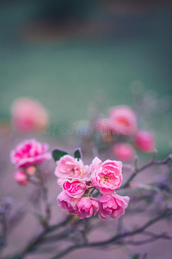 Free Closeup Of A Pink Rose Covered By Morning Frost Royalty Free Stock Images - 160586179