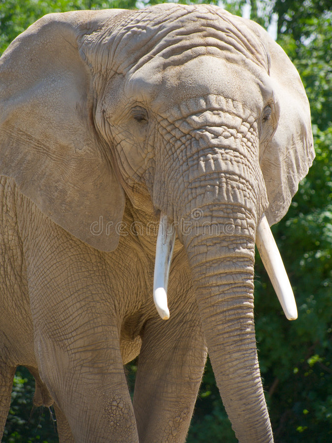 Free Closeup Of African Elephant Stock Photo - 185530