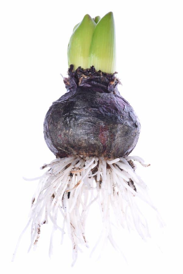 Free Closeup Of Hyacinth Bulb Stock Photography - 65794822