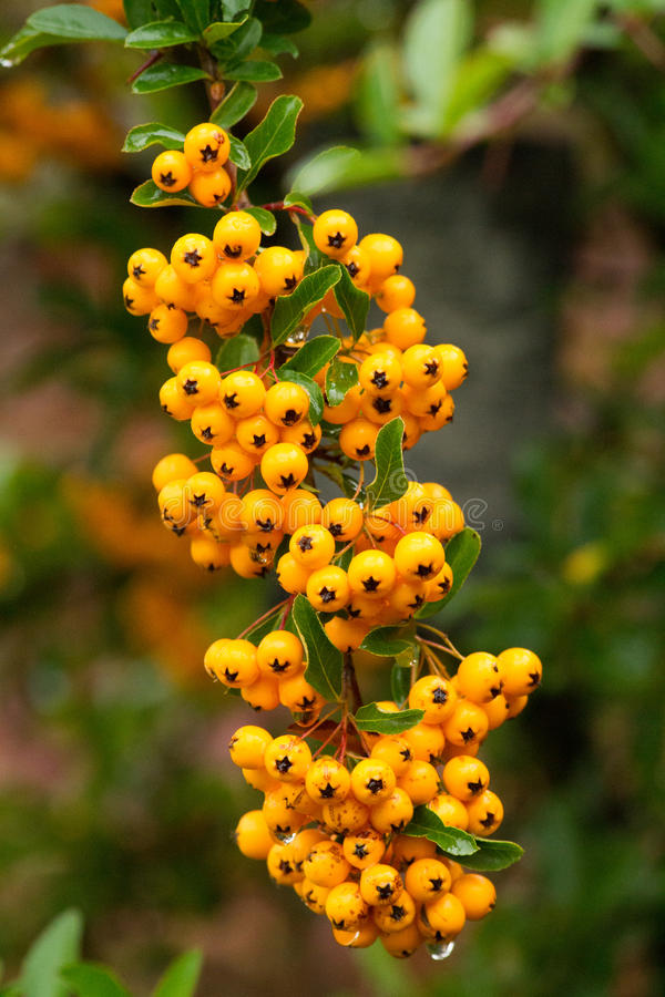 Free Closeup Of Pyracantha Yellow Berries, Autumn Garden Stock Images - 63752994