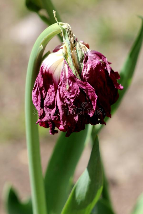 Closeup of old purple tulip with completely dried petals and dark green leaves surrounded with other flowers in local garden stock photos