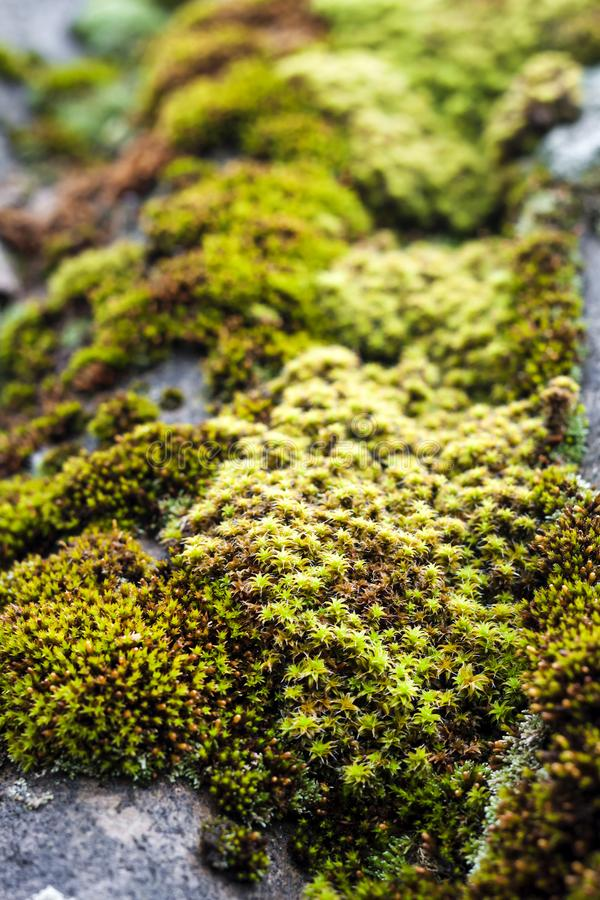 Closeup of old slate roof covered with green moss stock images