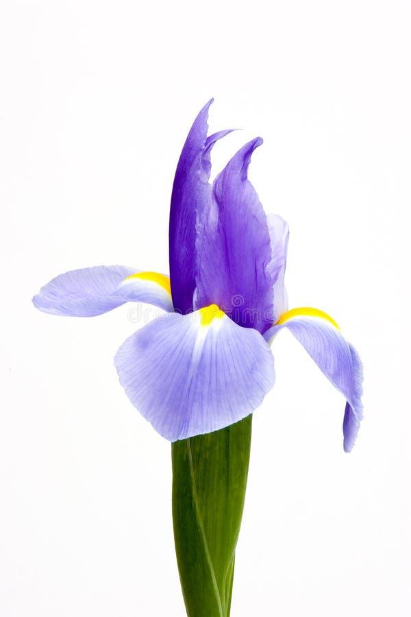 Closeup one blue iris isolated on white background stock photo
