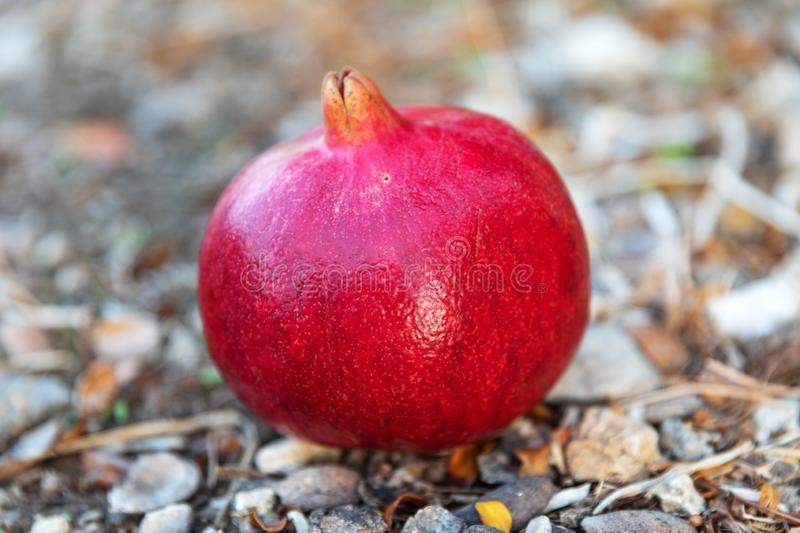 Closeup One Large red ripe pomegranate fruit lying on the ground in summer garden stock photo