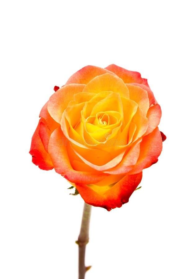 Closeup one orange lipstick roses isolated. royalty free stock photo