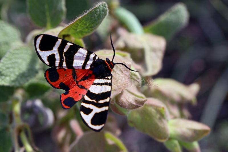Scarlet tiger moth. Closeup of an open-winged scarlet tiger moth on a green leafy plant stock photo