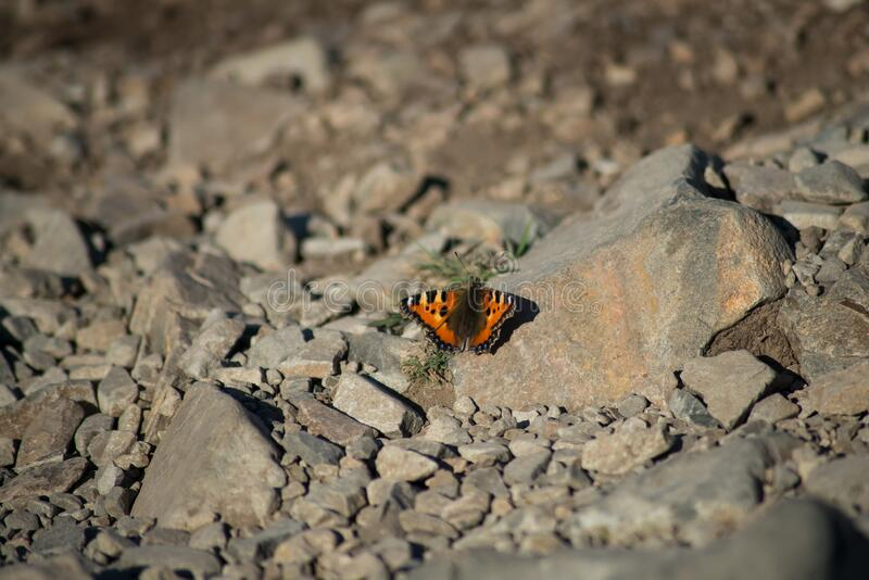 Orange and black butterfly on the floor in the mountain - Nymphalis polychloros royalty free stock photos
