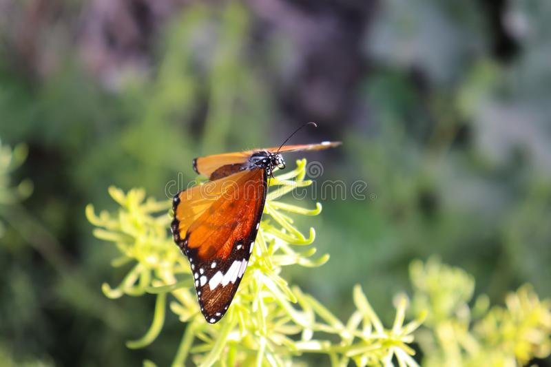 Closeup Orange Black Marked Butterfly On Yellow Flower. Outdoor background royalty free stock image
