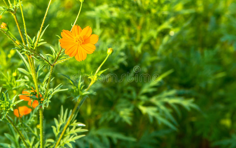 Closeup of an Orange French marigold. In a field of green grass stock photo