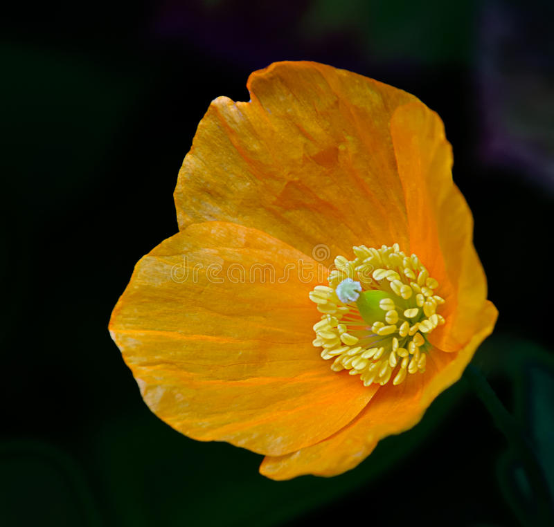 Download Closeup of orange poppy stock photo. Image of flora, blooming - 25604418