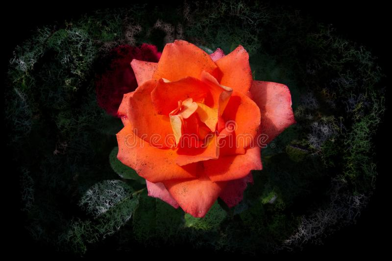 Opened blooming rose with orange petals - graphic arts design stock images