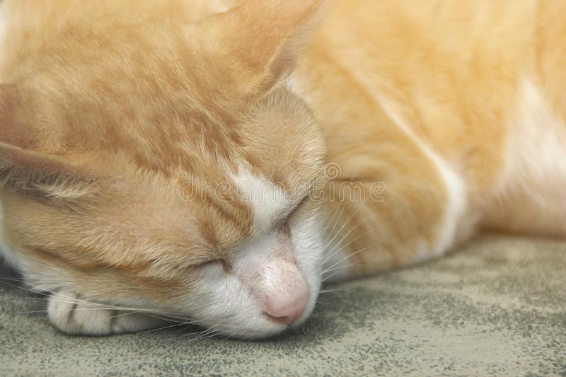 Closeup of Orange and White Short-haired Sleeping Cat stock images