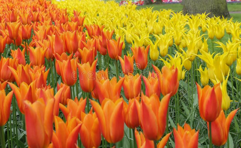Closeup of orange and yellow tulip flowers. Close-up photo of vibrant orange and yellow tulips in a garden royalty free stock image