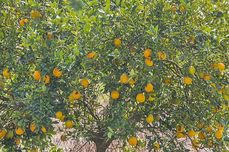 Closeup Of Oranges In An Orange Tree royalty free stock photography