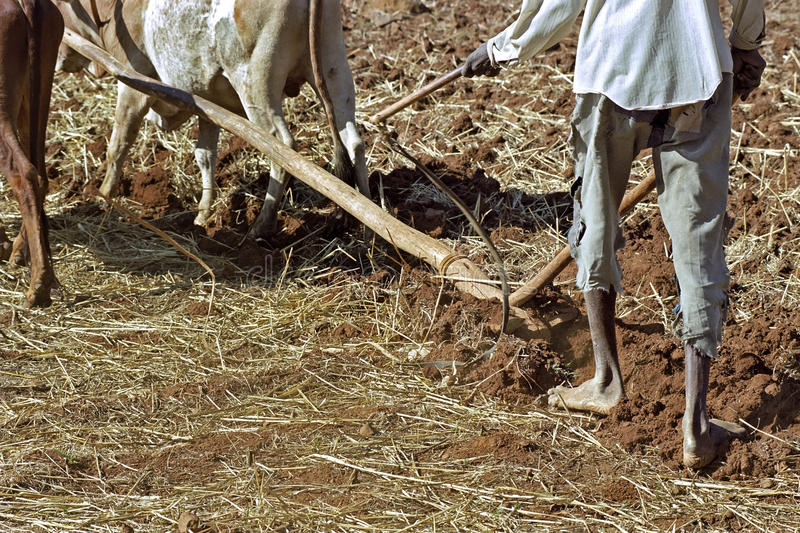 Closeup with oxen plowing farmer, Ethiopia. Ethiopia, village Chancho Gaba Robi: close Oromo [largest ethnic population in Ethiopia] farmer barefoot behind the royalty free stock images