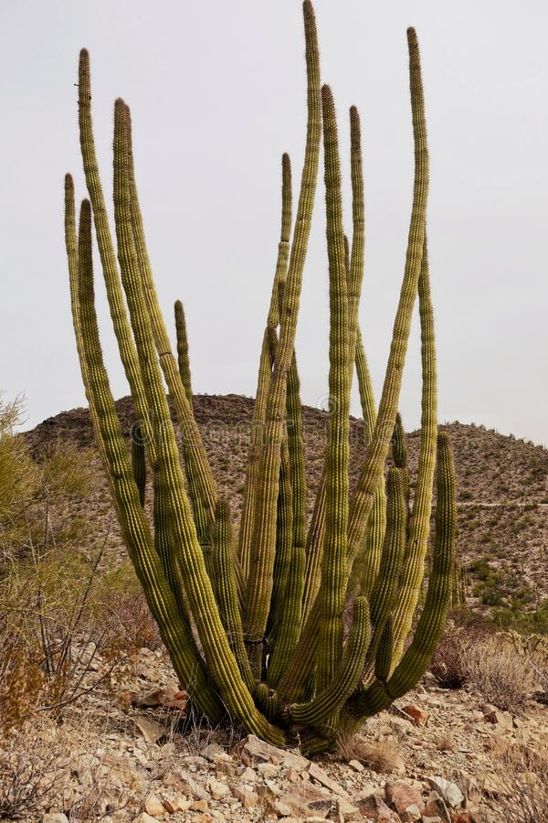 Closeup på en stor kaktus i öknen i Arizona arkivfoton