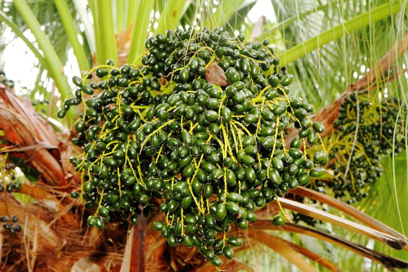 Closeup of the palm tree fruits. On tree stock images