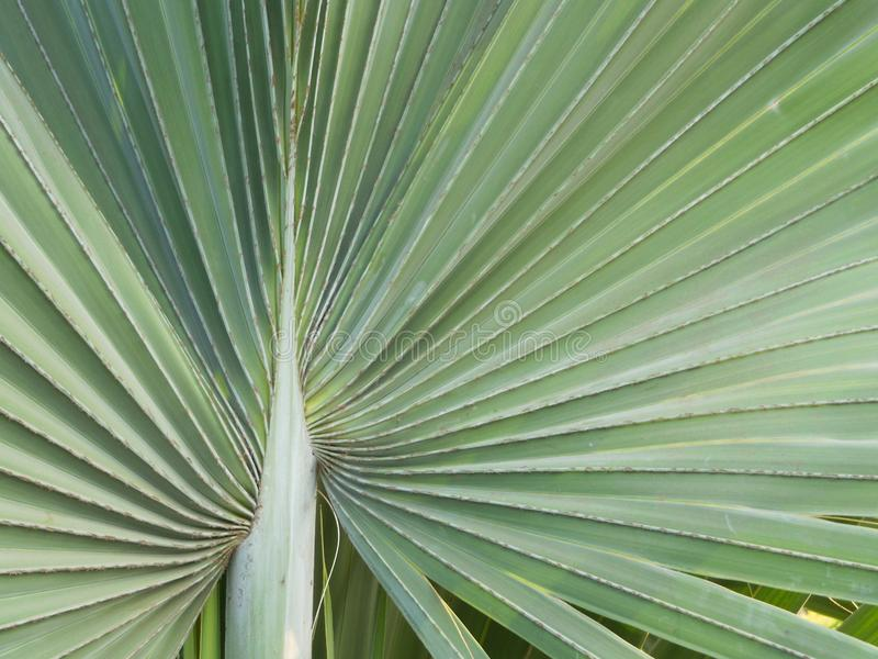 Closeup of palmetto leaf abstract texture pattern background. Closeup of palmetto leaf abstract textured pattern background wallpaper royalty free stock photography