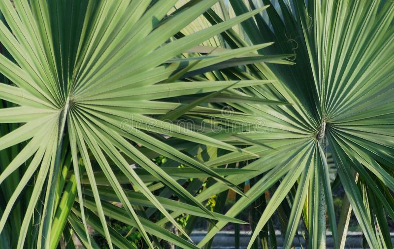 Closeup of pair of palmetto leaf abstract texture pattern background stock photos