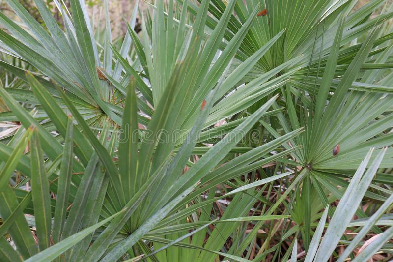 Closeup of Palmetto Palm Patch in Florida. A great close-up photo of a Florida palmetto patch growing in its natural habitat. This is a nice backdrop for royalty free stock photos