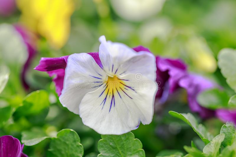 Closeup of a Pansy Flower stock photography