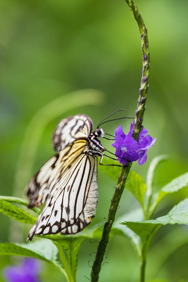 Closeup of a paper kite or white tree nymph butterfly royalty free stock photo