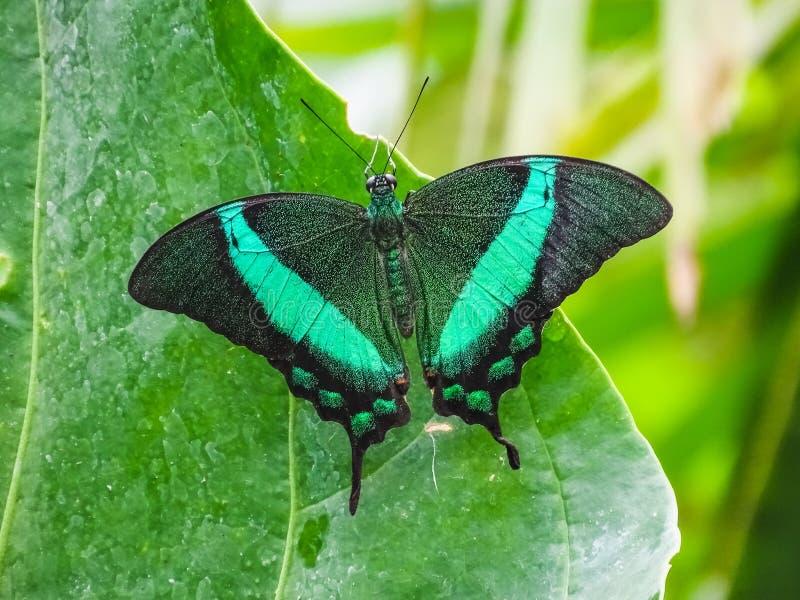 Closeup of a papilio palinurus, the emerald swallowtail stock image