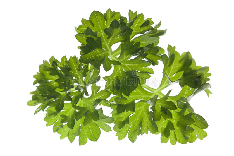 Download Closeup of parsley stock image. Image of spiciness, nature - 27627409
