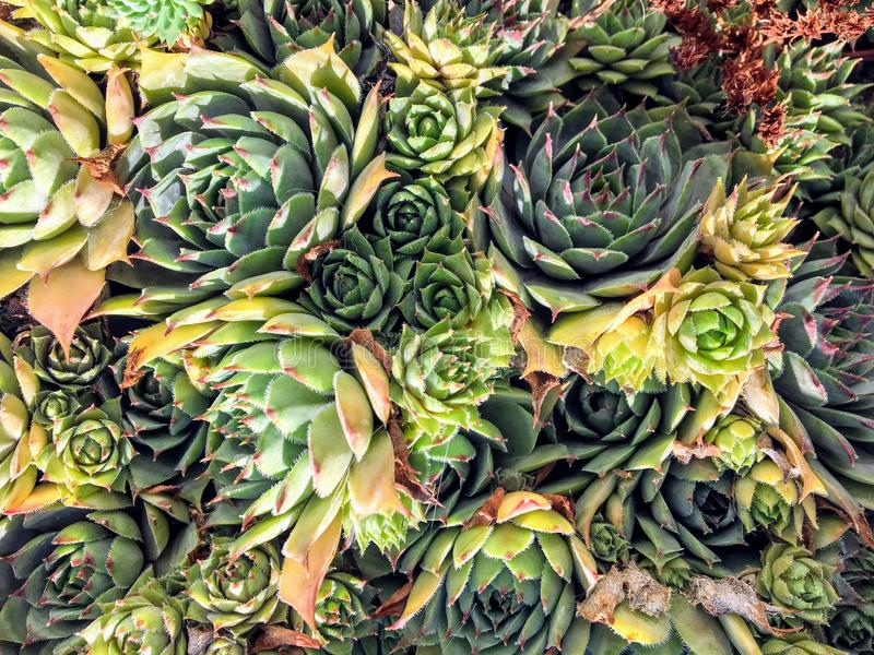 A closeup pattern of Hen and chicks also known as hen-and-chickens, or hen-widdies in the American South stock photo