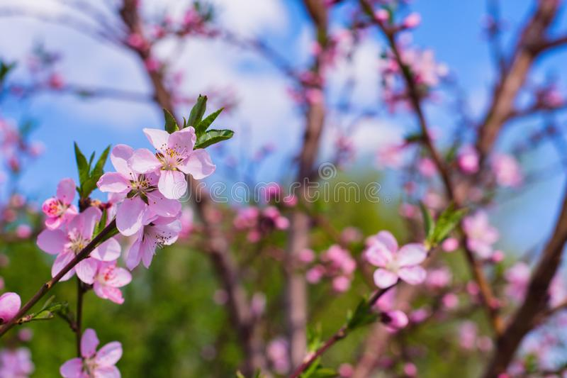 Closeup of peach blossom In full bloom. Rose and Pink Peach Blossom stock photos