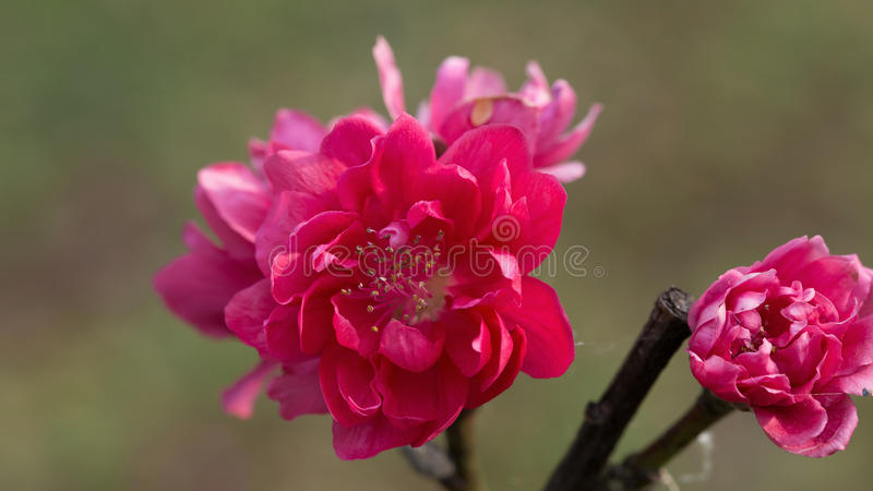 closeup of peach flower blooming in the garden royalty free stock photography