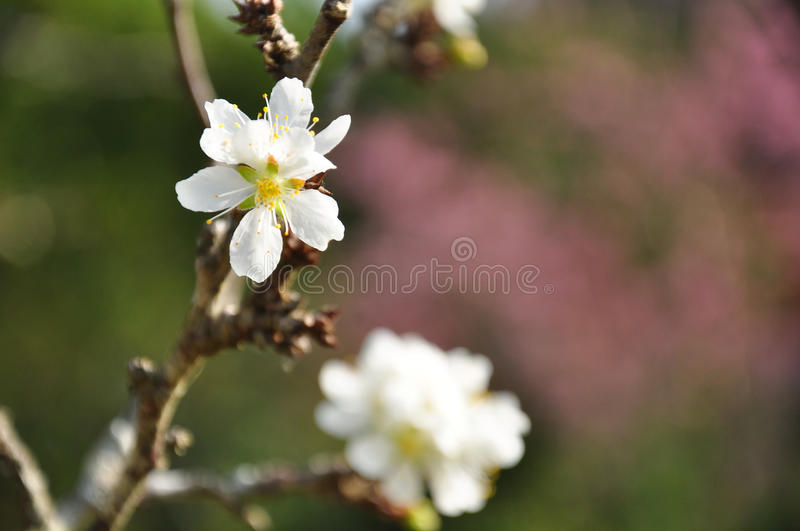 Download Closeup of peach flowers stock image. Image of blue, peach - 39511527