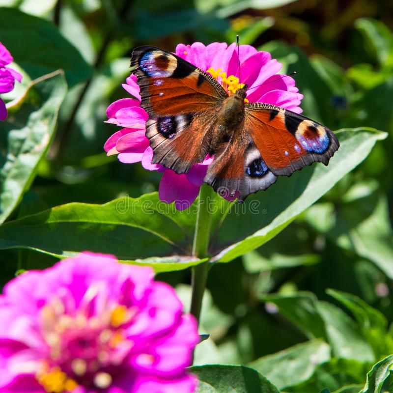 Peacock butterfly, aglais io, european peacock butterfly on pink dahlia flower royalty free stock photo