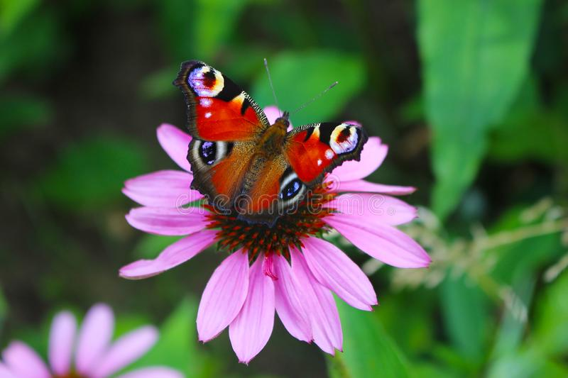 Closeup of peacock butterfly Inachis io with colorful wings on pink echinacea flower, coneflower. Blurred garden. Closeup of peacock butterfly Inachis io with royalty free stock photos