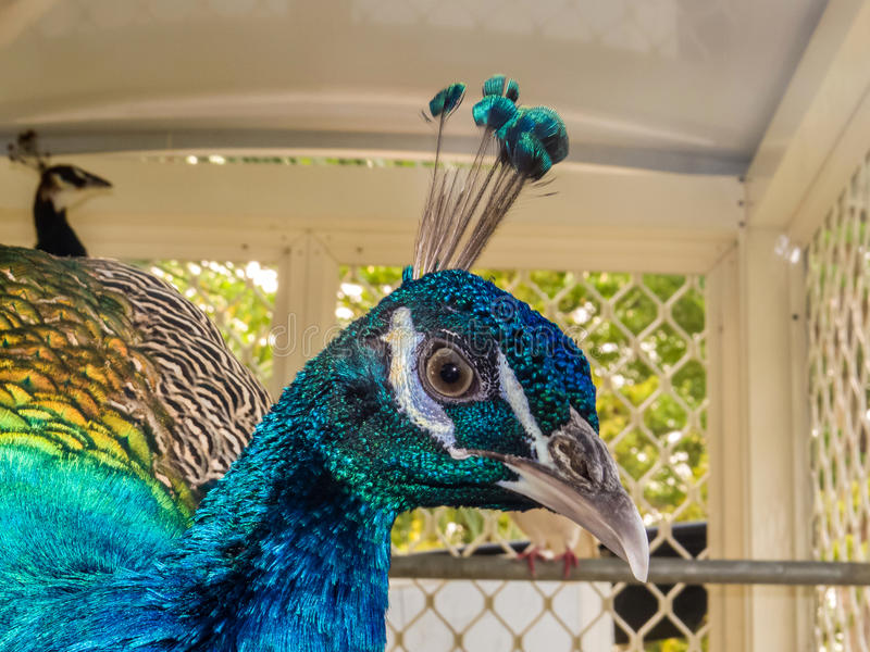 Closeup of Peacock head. With Featherweight crown royalty free stock photos