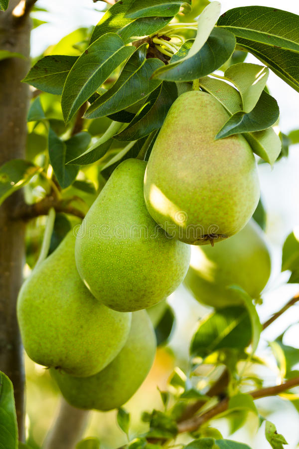 Closeup of a pears. On a branch royalty free stock photography