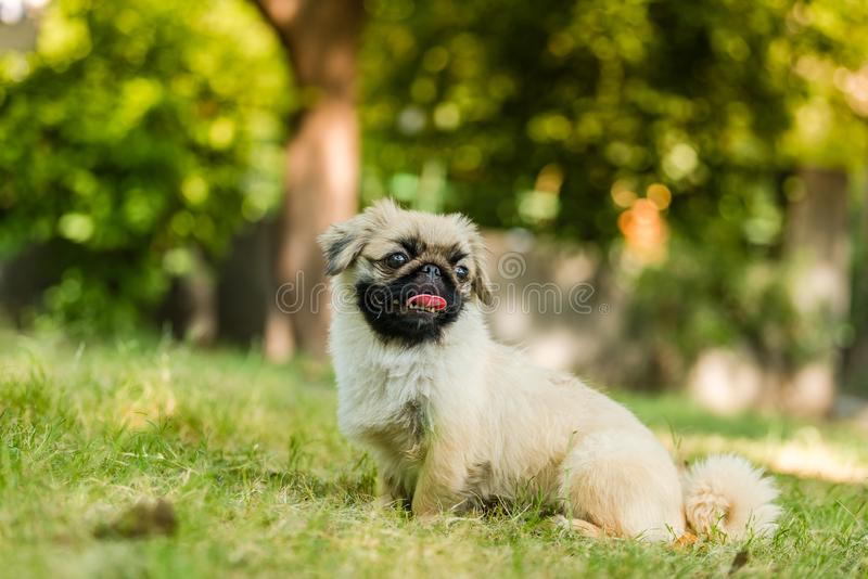 Closeup of Pekingese breed of dog sitting. The Pekingese is an ancient breed of toy dog, originating in China sitting in isolated green background stock photography
