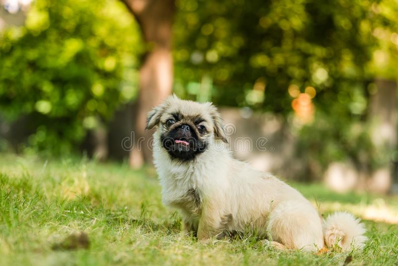 Closeup of Pekingese breed of dog sitting. The Pekingese is an ancient breed of toy dog, originating in China sitting in isolated green background royalty free stock images