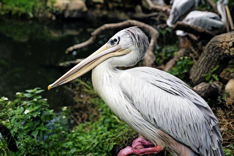 Download Closeup Pelican stock photo. Image of horizontal, black - 33659708