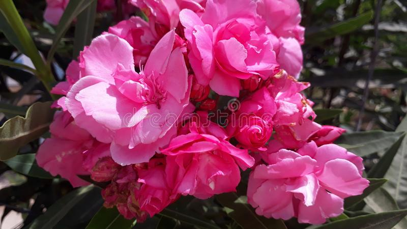 Closeup of peony flowers royalty free stock images