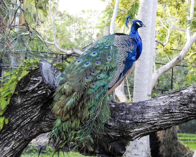 Closeup Of Perched Colorful Male Peacock stock image