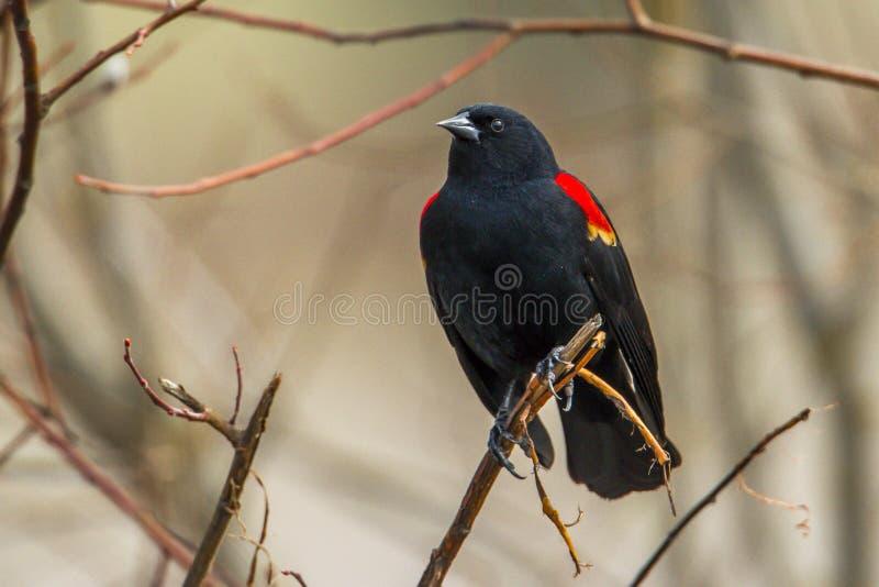 Closeup of a perched redwinged blackbird. stock photo