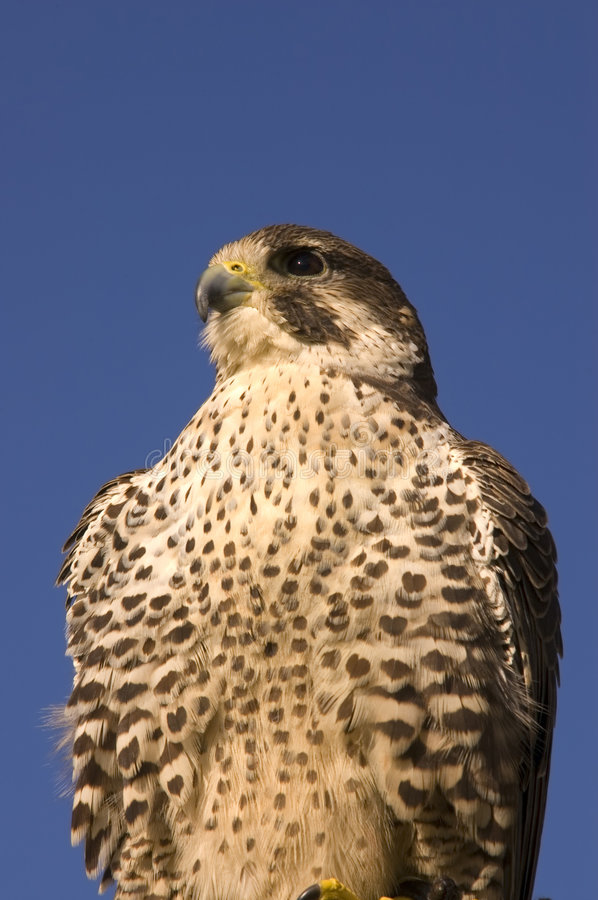 Closeup of Peregrine falcon. Crossbred Merlin against a blue sky royalty free stock photo
