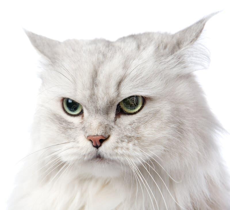 Free Closeup Persian Gray Cat Portrait. Stock Image - 40606951