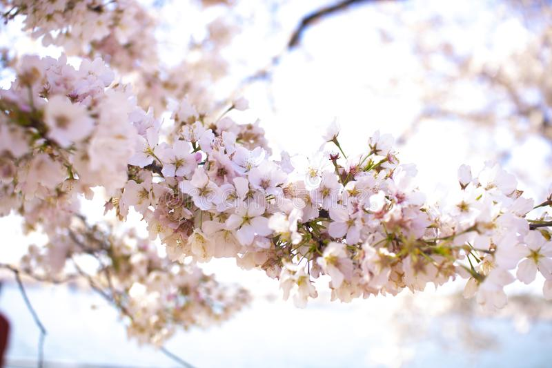 Closeup Photo of Apple Blossom Flowers stock images