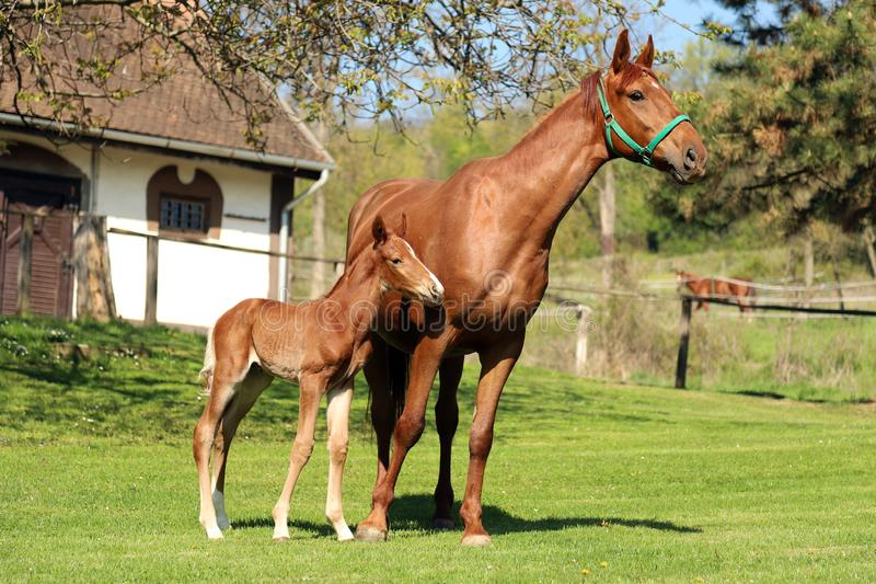 One day old purebred chestnut foal playing first time  with her mother in the green stock photos