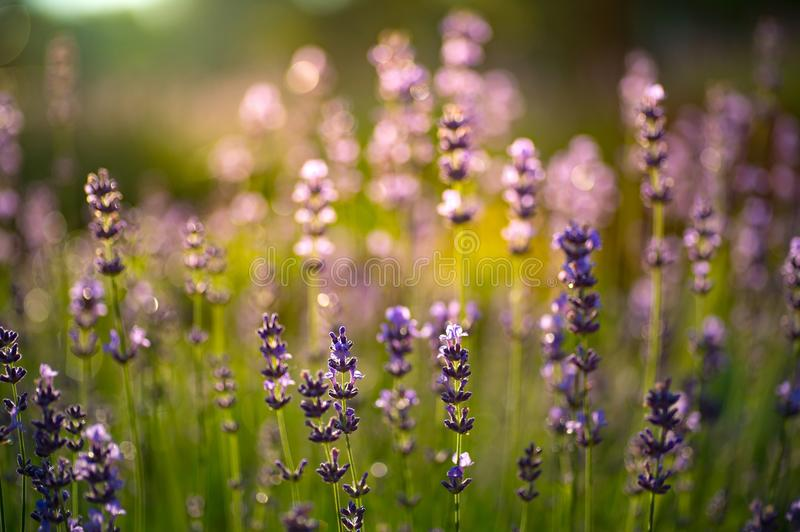 Closeup photo of beautiful gentle lavender flower field, abstract purple floral background, aromatic plant, beauty of summer royalty free stock photography